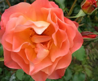 Westerland Roses