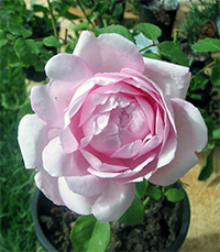 Wife of Bath Roses
