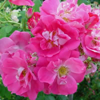 William Baffin Climbing Roses