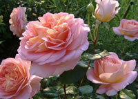 Abraham Darby Roses