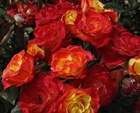 All About Miniature Roses