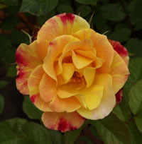 Autumn Sunset Climbing Roses