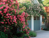 Best Climbing Roses