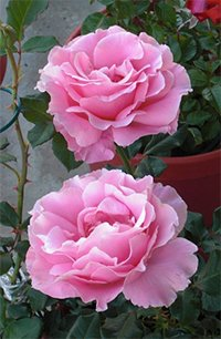 Bewitched Roses