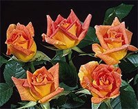 Brittanys Glowing Star Roses