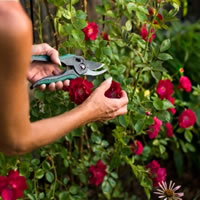 Caring For Climbing Roses