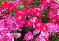 Caring for Knockout Roses