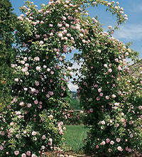Cecil Brunner Climbing Roses