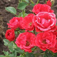 Charming Roses