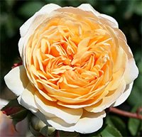 Crown Princess Margareta Roses