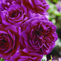 Deep Purple Roses - Ebb Tide