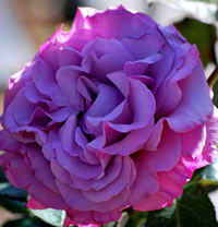 Deep Purple Roses - Neptune