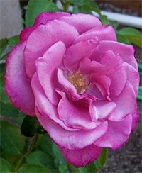 Fragrant Plum Roses