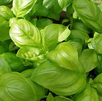 Growing Basil