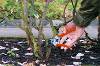 How To Prune Rose Bushes