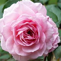 James Galway Roses