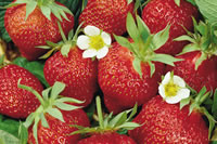 Landscaping Ideas Growing Strawberries