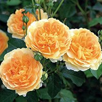 Molineux Roses