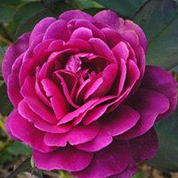 Purple Splendour Roses