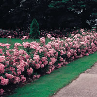 Rose Hedges