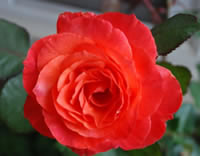 Sedona Red Rose Images