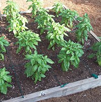 Square Foot Gardens