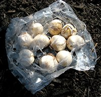 Storing Tulip Bulbs