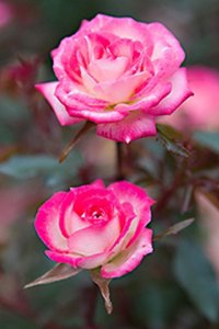 Stormy Weather Roses