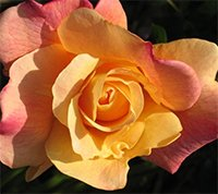 Sutters Gold Roses
