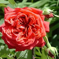 Tess of the D Urbervilles Roses