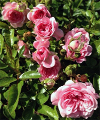 The Fairy Roses