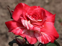 Types of Hybrid Tea Roses