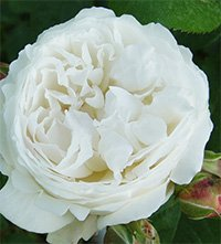 Winchester Cathedral Roses