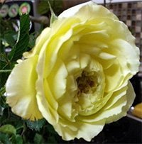 Yellow Cushion Roses