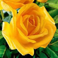 Picture of Yellow Roses